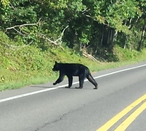 luray bear crossing road (2)